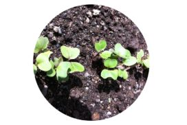 Healthy seedlings in compost
