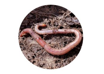 Large healthy worm on soil
