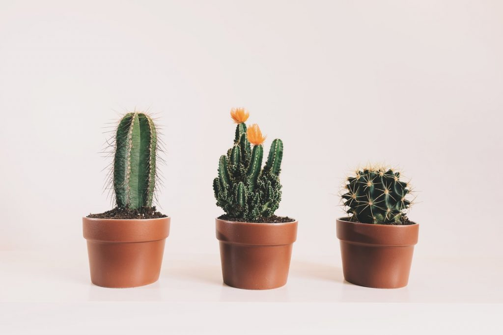 Anti-rad plants for your home: cactus